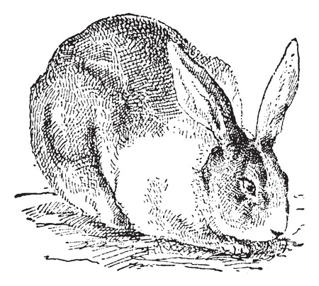 illustration: Rabbit, vintage engraved illustration. Dictionary of words and things - Larive and Fleury - 1895.