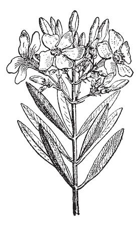 laurier rose: Oleander ou Nerium oleander, illustration vintage grav�. Dictionnaire des mots et des choses - Larive et Fleury - 1895 Illustration