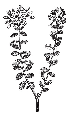 palustre: Wild Rosemary or Rhododendron tomentosum, vintage engraved illustration. Dictionary of Words and Things - Larive and Fleury - 1895 Illustration
