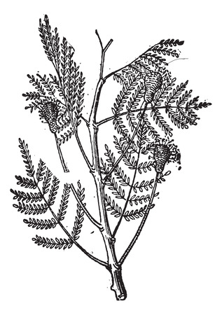 ornamental horticulture: Nere or Parkia biglobosa, vintage engraved illustration. Dictionary of Words and Things - Larive and Fleury - 1895