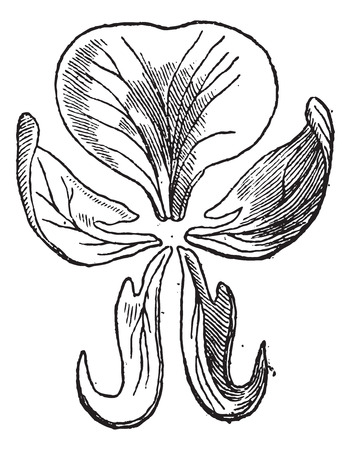 starch: Pea or Pisum sativum, showing flower petals (separated), vintage engraved illustration. Dictionary of Words and Things - Larive and Fleury - 1895