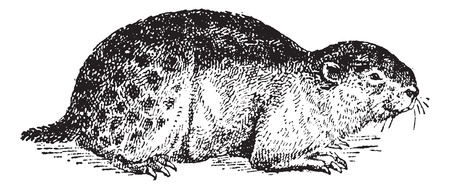 terrestrial mammal: Lemming or Lemmus lemmus, vintage engraved illustration. Dictionary of Words and Things - Larive and Fleury - 1895