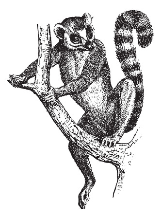 Ring-tailed Lemur or Lemur catta, vintage engraved illustration. Dictionary of Words and Things - Larive and Fleury - 1895