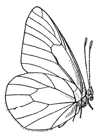 lepidoptera: Lepidopteran or Lepidoptera, vintage engraved illustration. Dictionary of Words and Things - Larive and Fleury - 1895 Illustration