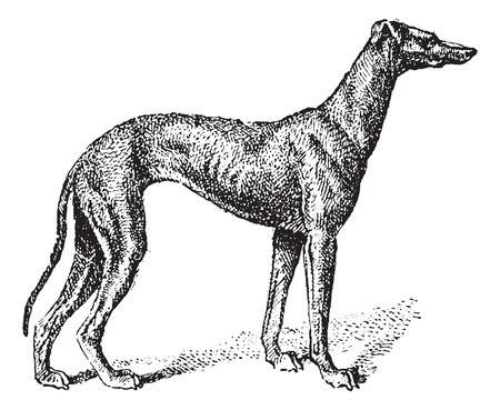 chart: Greyhound, pokazując pieska, vintage grawerowane ilustracji. Słownik słów i rzeczy - Larive i Fleury - 1895