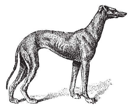 game dog: Greyhound, showing male dog, vintage engraved illustration. Dictionary of Words and Things - Larive and Fleury - 1895 Illustration