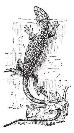Lizard, vintage engraved illustration. Dictionary of Words and Things - Larive and Fleury - 1895