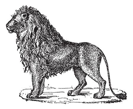 panthera: Leone o Panthera leo, vintage illustrazione inciso. Dizionario di parole e cose - Larive e Fleury - 1895