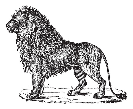 panthera: Lion or Panthera leo, vintage engraved illustration. Dictionary of Words and Things - Larive and Fleury - 1895