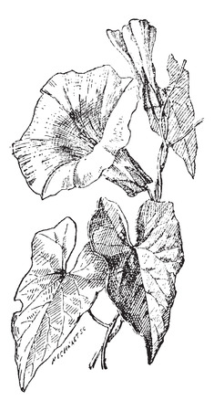 convolvulus: Bindweed or Convolvulus sp., vintage engraved illustration. Dictionary of Words and Things - Larive and Fleury - 1895