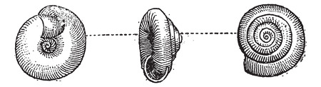 exoskeleton: Garden Snail or Helix aspersa, vintage engraved illustration. Dictionary of Words and Things - Larive and Fleury - 1895