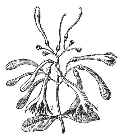 Loranthaceae, vintage engraved illustration. Dictionary of Words and Things - Larive and Fleury - 1895