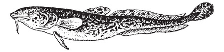 zoological: Burbot or Lota lota, vintage engraved illustration. Dictionary of Words and Things - Larive and Fleury - 1895 Illustration
