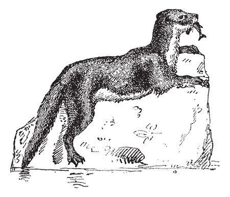 eurasian: Eurasian Otter or Lutra lutra, vintage engraved illustration. Dictionary of Words and Things - Larive and Fleury - 1895