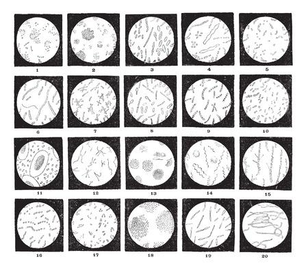 levadura: Los microorganismos o microbios, diversos, como se ve a través de un microscopio, cosecha ilustración grabada. Diccionario de palabras y las cosas - Larive y Fleury - 1895