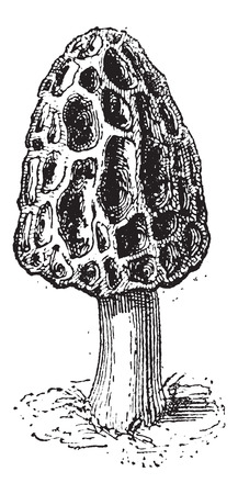 sponge mushroom: Morel or Morchella sp., vintage engraved illustration. Dictionary of Words and Things - Larive and Fleury - 1895