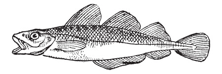 ichthyology: Cod, vintage engraved illustration. Dictionary of Words and Things - Larive and Fleury - 1895 Illustration