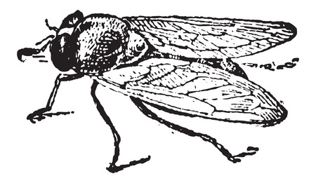 Common Fruit Fly or Drosophila melanogaster, vintage engraved illustration. Dictionary of Words and Things - Larive and Fleury - 1895