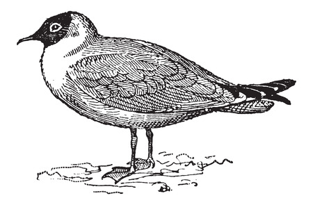 omnivore: Laughing Gull or Leucophaeus atricilla, vintage engraved illustration. Dictionary of Words and Things - Larive and Fleury - 1895
