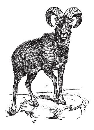 mouflon: European Mouflon or Ovis orientalis musimon, vintage engraved illustration. Dictionary of Words and Things - Larive and Fleury - 1895
