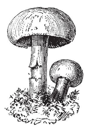 scotch: Fairy Ring Mushroom or Marasmius oreades, vintage engraved illustration. Dictionary of Words and Things - Larive and Fleury - 1895 Illustration