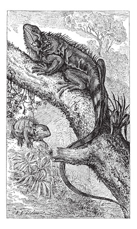 creeping: Old engraved illustration of two Iguanas, one creeping on the tree branch and another in the meadow. Dictionary of words and things - Larive and Fleury ? 1895 Illustration