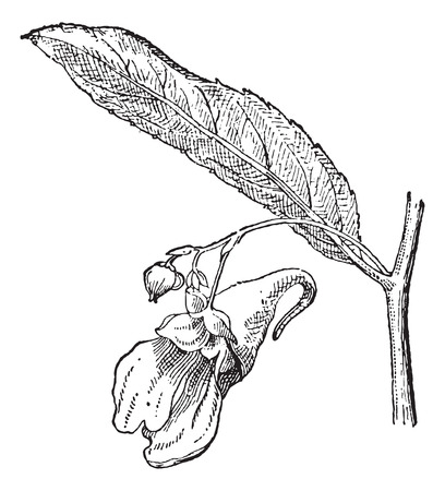 impatiens: Old engraved illustration of Impatiens or balsams or touch-me-nots isolated on a white background. Dictionary of words and things - Larive and Fleury ? 1895 Illustration