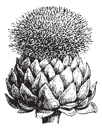 thistles: Fig.17.  Atichoke or Globe Artichoke, vintage engraved illustration. Dictionary of words and things - Larive and Fleury - 1895.