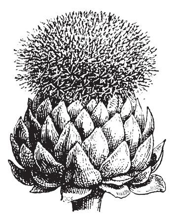 Fig.17. Atichoke of Globe Artisjok, vintage gegraveerde illustratie. Woordenboek van woorden en dingen - Larive en Fleury - 1895.