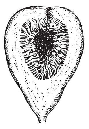 Fig.18. Fig, vintage engraved illustration. Slice of fig isolated on white. Dictionary of words and things - Larive and Fleury - 1895. Illustration