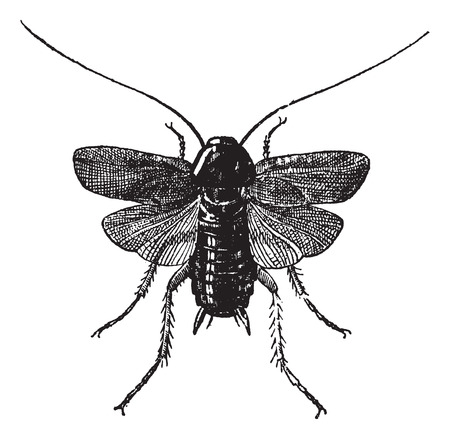 arthropods: Fig 83. Cockroach,  vintage engraved illustration. Cockroach isolated on white. Dictionary of words and things - Larive and Fleury - 1895.