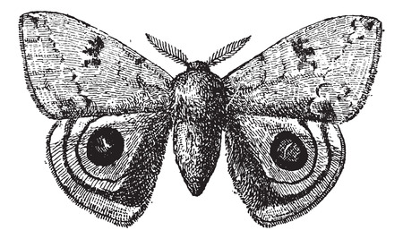 peacock butterfly: European Peacock or Peacock butterfly, vintage engraved illustration. Dictionary of words and things - Larive and Fleury - 1895.