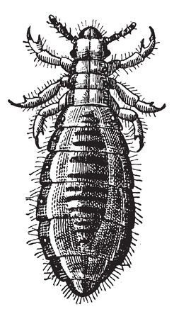 louse: Fig 17. Louse Diptera, vintage engraved illustration. Dictionary of words and things - Larive and Fleury - 1895.