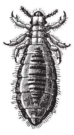 piojos: Fig 17. Piojo Diptera, cosecha ilustración grabada. Diccionario de palabras y las cosas - Larive y Fleury - 1895.