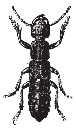 Fig 11. Ocipus Hymenoptera, vintage engraved illustration. Dictionary of words and things - Larive and Fleury - 1895.