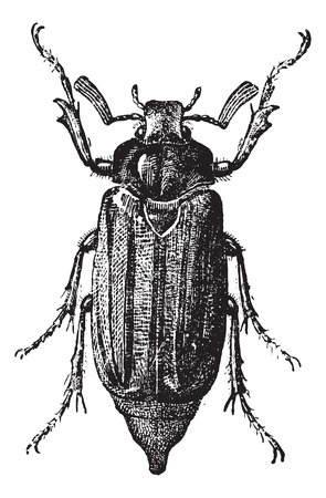 scarabaeidae: Fig 10. Cockchafer or May Bug or Mitchamador or billy witch or spang beetle, vintage engraved illustration. Dictionary of words and things - Larive and Fleury - 1895. Illustration
