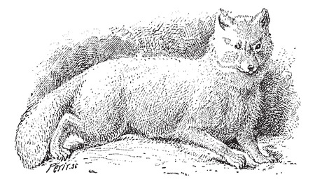 Arctic fox (Vulpes lagopus) or white fox or polar fox or snow fox, vintage engraved illustration. Dictionary of words and things - Larive and Fleury - 1895. Vector