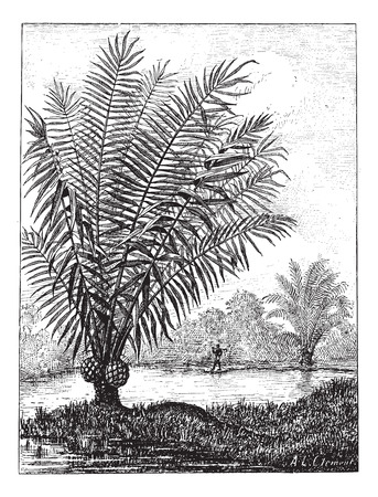 Ivory tree (Phytelephas macrocarpa), vintage engraved illustration. Dictionary of words and things - Larive and Fleury - 1895. Ilustracja