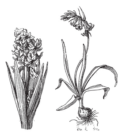 Hyacinth, Bluebell, vintage engraved illustration. Dictionary of words and things - Larive and Fleury - 1895. Illusztráció