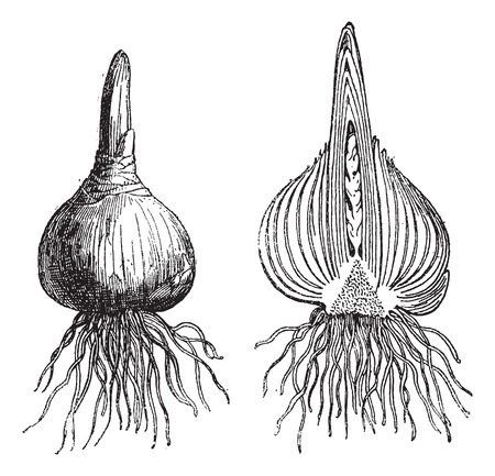 Hyacinth whole onion, Hyacinth cut onion, vintage engraved illustration. Dictionary of words and things - Larive and Fleury - 1895.