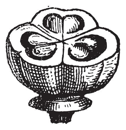 Muscari, 빈티지 새겨진 그림입니다. 단어와 사물의 사전 - Larive and Fleury - 1895.