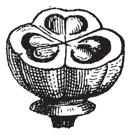 Muscari, vintage engraved illustration. Dictionary of words and things - Larive and Fleury - 1895.