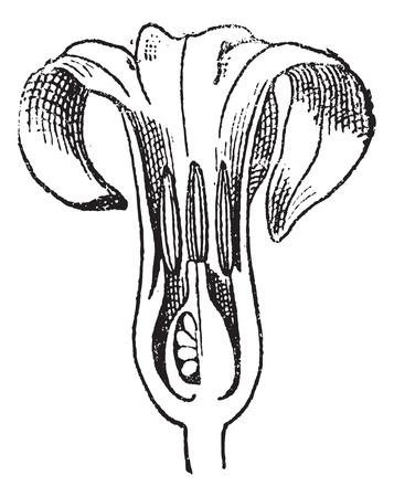 히 아 신 스, 꽃 세로로 잘라 빈티지 새겨진 된 그림. 단어와 사물의 사전 - Larive and Fleury - 1895. 일러스트