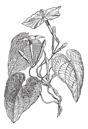 poison: Jalap (Ipomea Purga), vintage engraved illustration. Dictionary of words and things - Larive and Fleury - 1895.