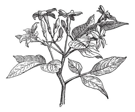 vintage flower: Jasmine or Jasminum, vintage engraved illustration. Dictionary of words and things - Larive and Fleury - 1895.