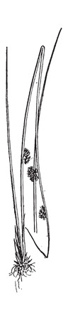sedge: Juncus conglomeratus or Compact Rush, vintage engraved illustration. Dictionary of words and things - Larive and Fleury - 1895.