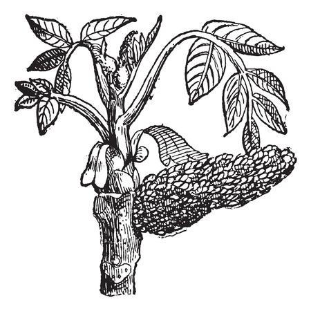 호두 Juglans, 빈티지 새겨진 된 그림입니다. 단어와 사물의 사전 - Larive and Fleury - 1895. 스톡 콘텐츠 - 35356666