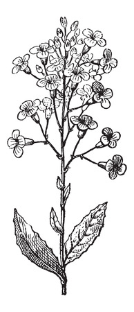 wort: Dames Rocket or Hesperis matronalis, vintage engraved illustration. Dictionary of Words and Things - Larive and Fleury - 1895