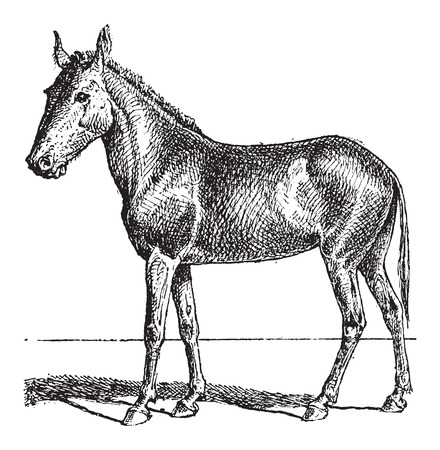 mule: Mule or Equus mulus, vintage engraved illustration. Dictionary of Words and Things - Larive and Fleury - 1895 Illustration