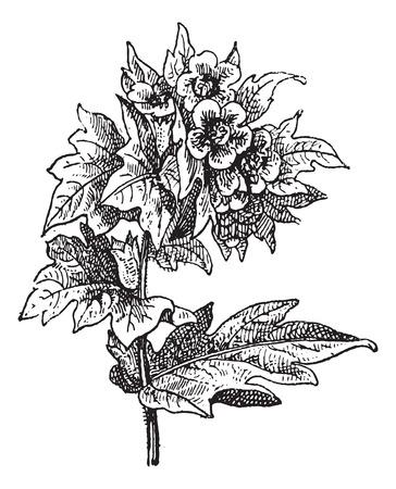 stinking: Henbane (Hyoscyamus niger) or stinking nightshade or black henbane, vintage engraved illustration. Dictionary of words and things - Larive and Fleury - 1895.